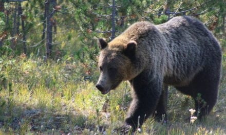 Man Fined for Trying to combat Grizzly Bear