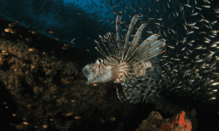 VORACIOUS LIONFISH EAT MORE IN WARM WATER