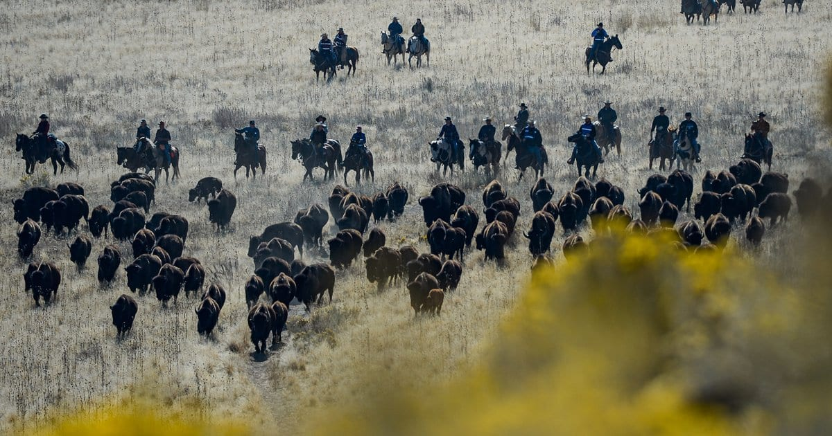 Time ticks away at wild bison hereditary diversity