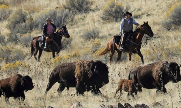 Preservation effort creates new threat to wild bison – ABC News