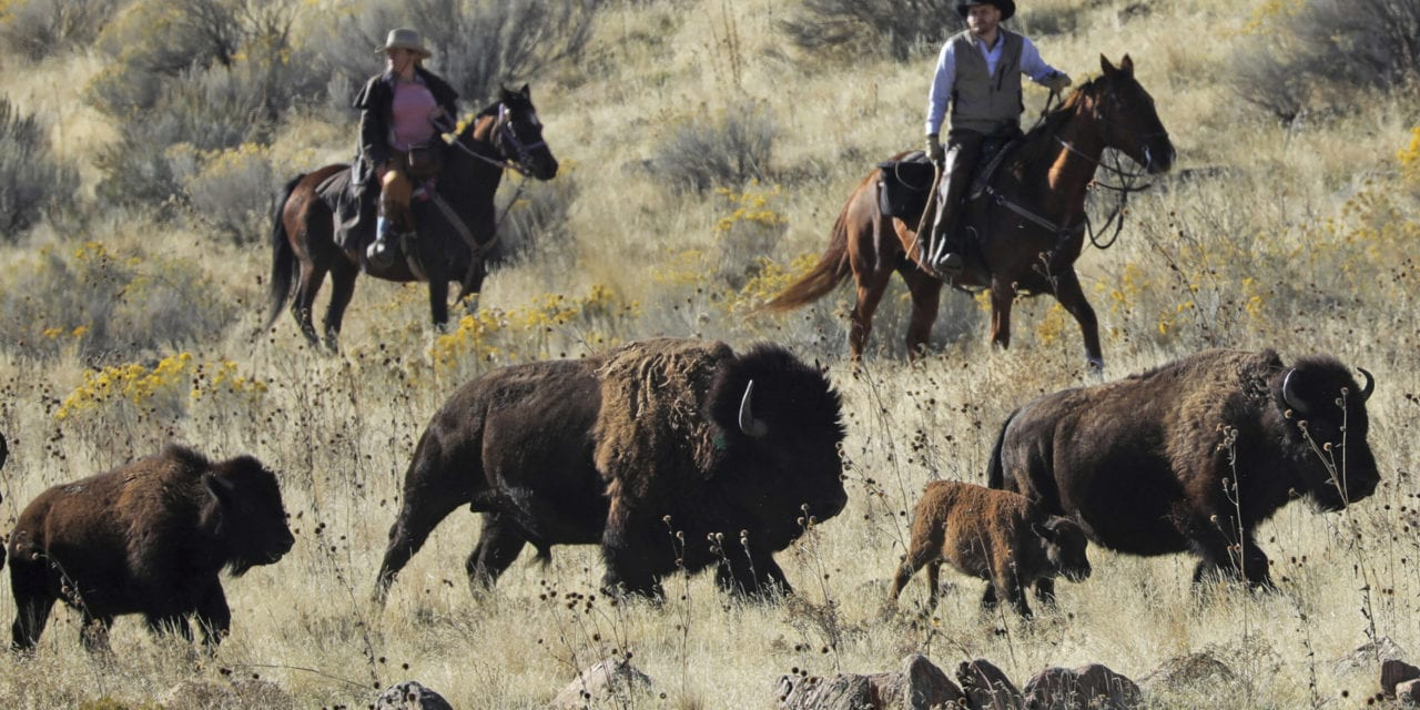 Time ticks away at wild bison genetic diversity
